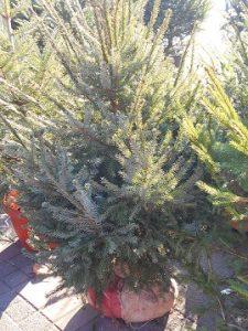 kerstboom schadelijk gezondheid