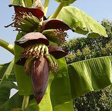 tropische vruchten banaan boom