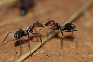 mieren weetjes honingpotmieren