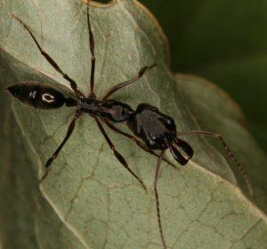 Mieren weetjes mier met lange kaken