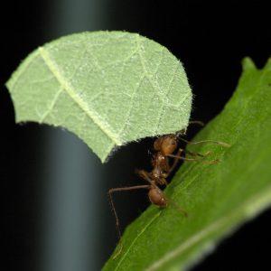 mieren weetjes parasolmier