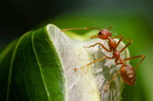 Mieren weetjes wevermier