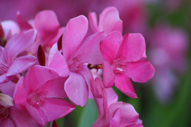 giftige bloemen en planten
