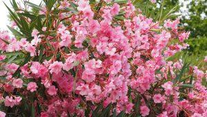 giftige bloemen en planten oleander