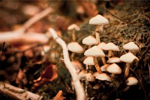 giftige paddestoelen bosparasolzwam
