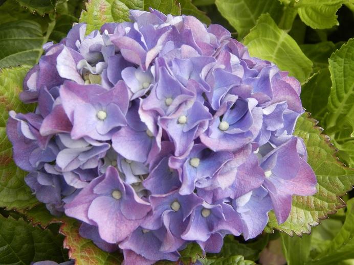 tips droogbloemen zelf maken hortensia