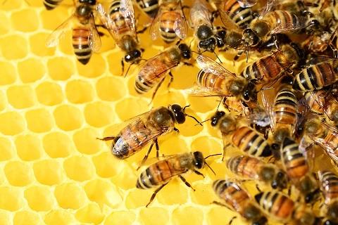 het-verschil-tussen-echte-en-nep-honing-bijen
