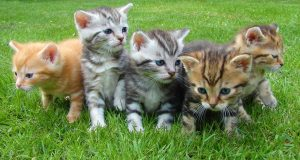 Top 10 kattenrassen allergie