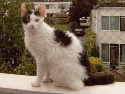 LaPerm katten allergie