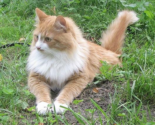 Syberische kat allergie