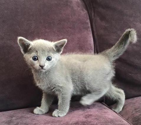 Russisch blauw kat allergie