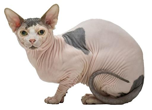sphynx katten allergie
