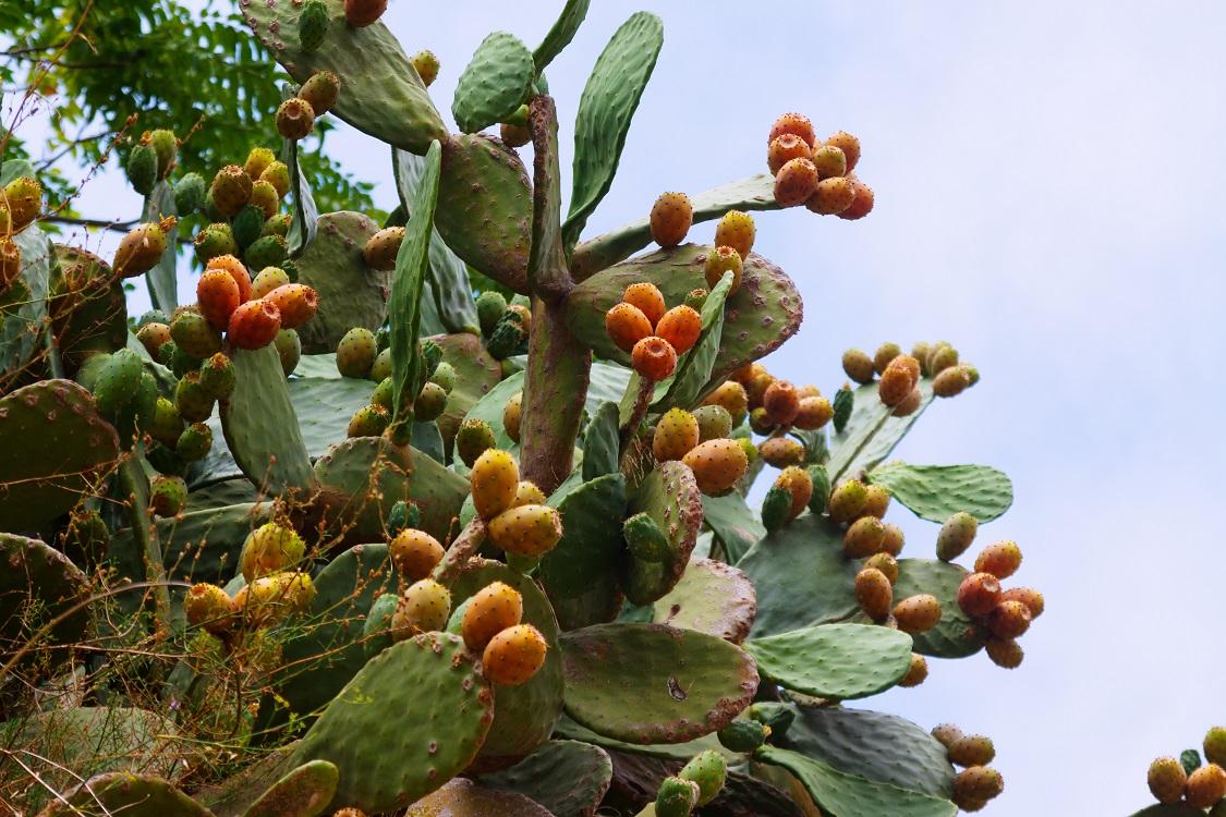 tropische vruchten cactusvijg