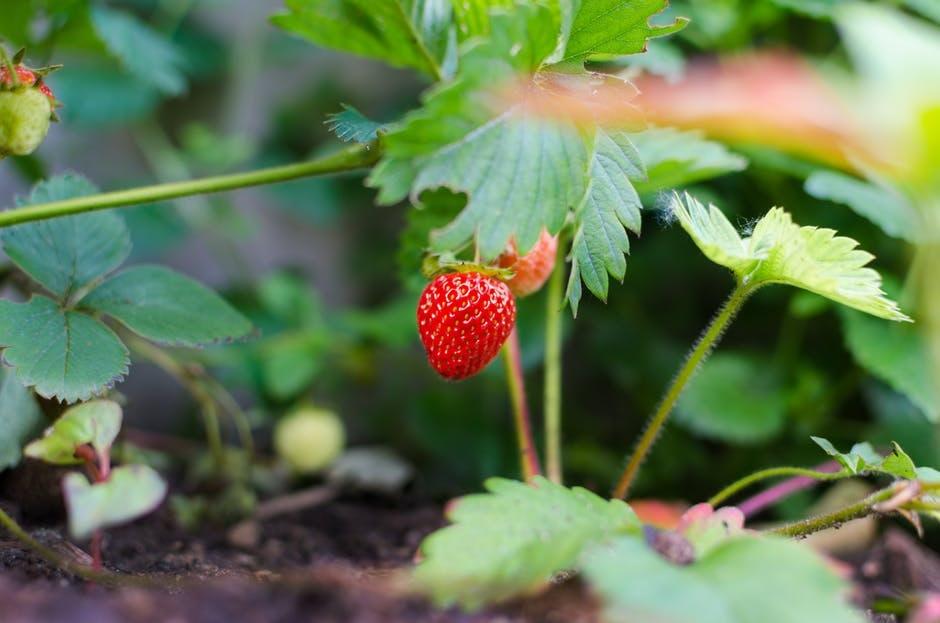 aardbeien planten oogsten verzorgen