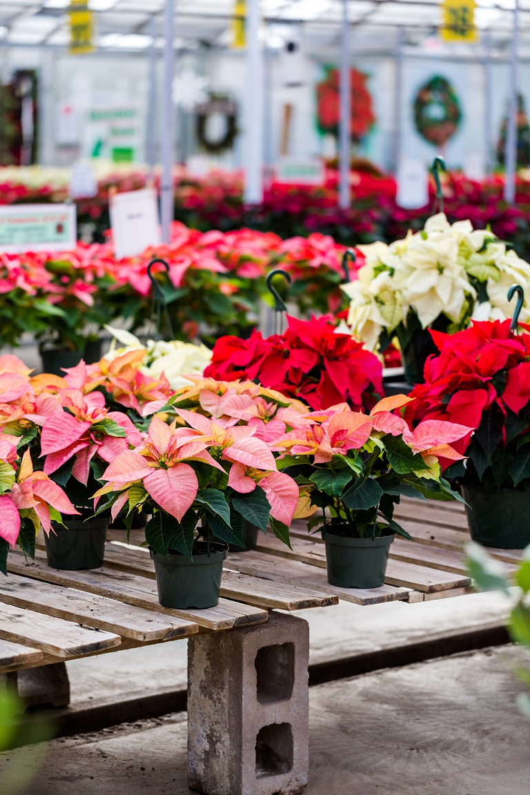 de kerstster als giftige wegwerpplant kleuren