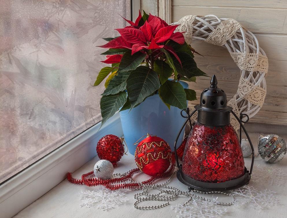 de kerstster als giftige wegwerpplant