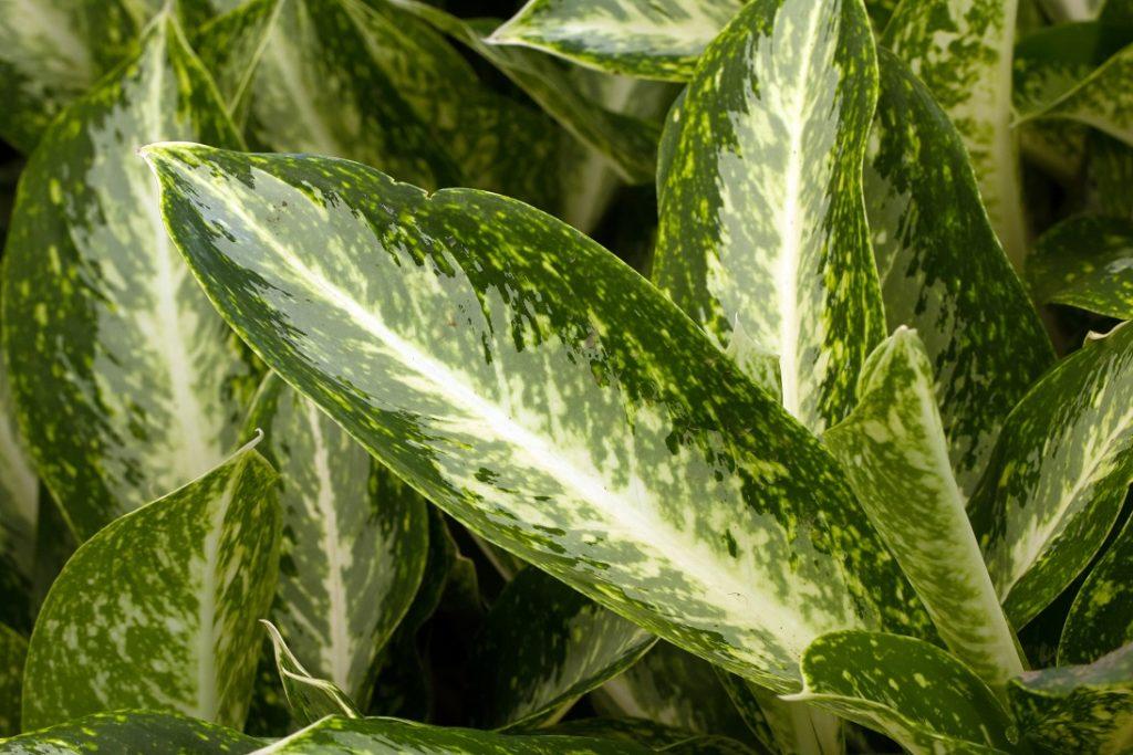 top 10 makkelijk te houden kamerplanten chinese altijd groene plant
