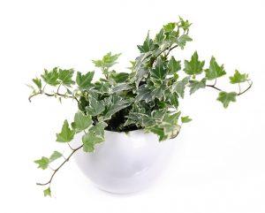 top 10 makkelijk te houden kamerplanten klimop