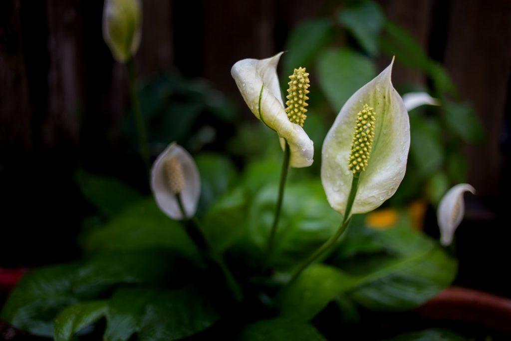 top 10 makkelijk te houden kamerplanten lepelplant