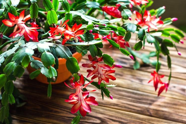 top 10 makkelijk te houden kamerplanten lidcactus
