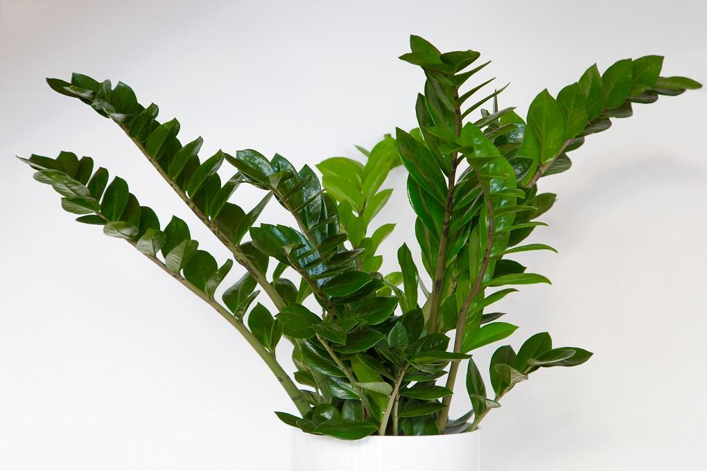 top 10 makkelijk te houden kamerplanten zamioculcas zamiifolia