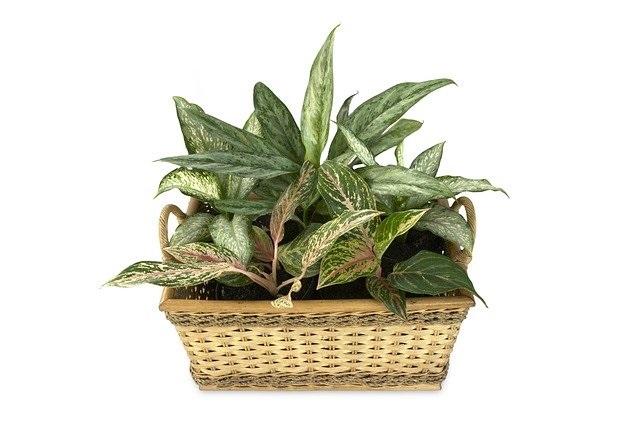 DEze 12 planten hebben weinig licht nodig aglonema