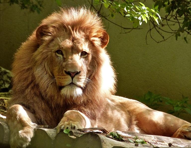 De grootste dierentuinen ter wereld op een rijtje leeuw