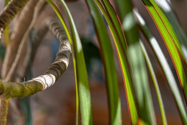 Deze 12 planten hebben weinig licht nodig Dracaena Marginata