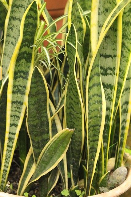 Deze 12 planten hebben weinig licht nodig sanseveira