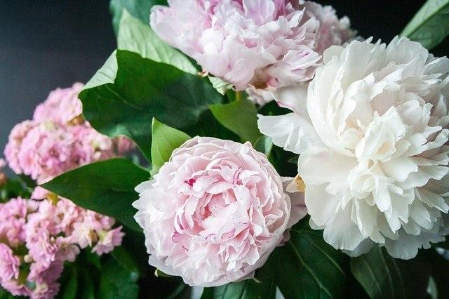 Bloemen en hun betekenis pioenroos