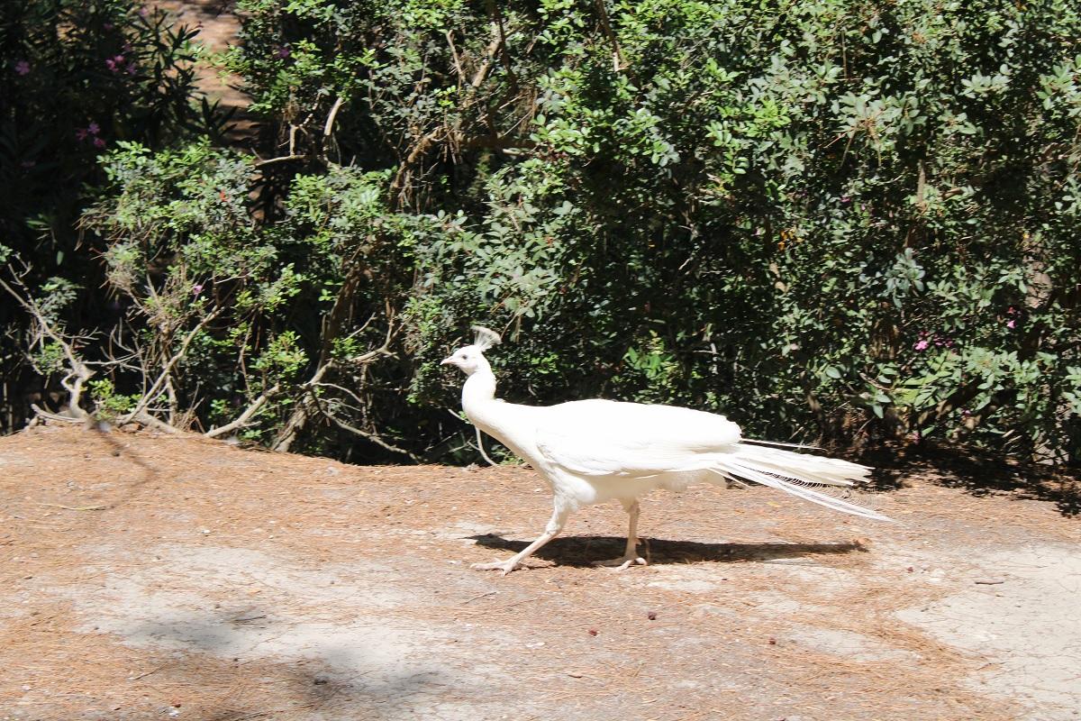 bezienswaardigheden Kos Blaka forest witte pauw