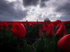 Nationale tulpendag weetjes en tips over tulpen