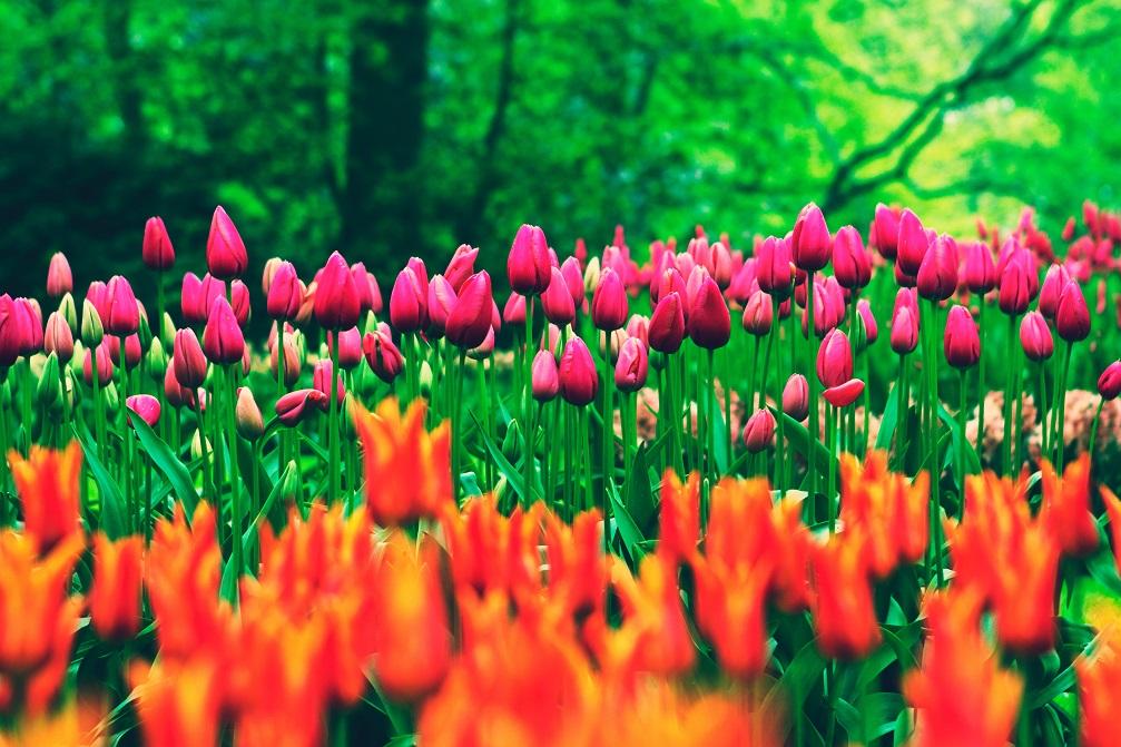 Nationale tulpendag weetjes en tips over tulpen keukenhof