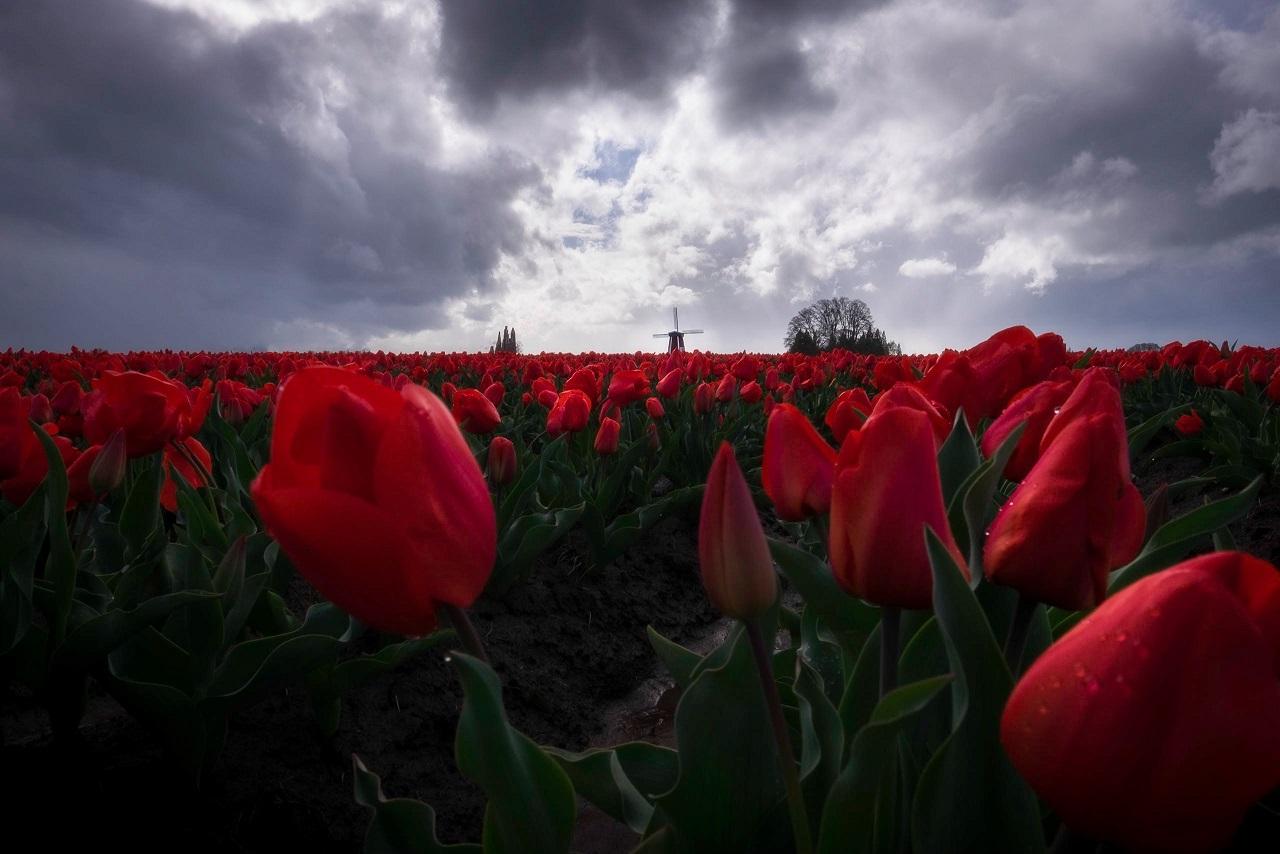 Nationale tulpendag weetjes en tips over tulpen