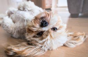 10 Hondenrassen die niet veel verharen