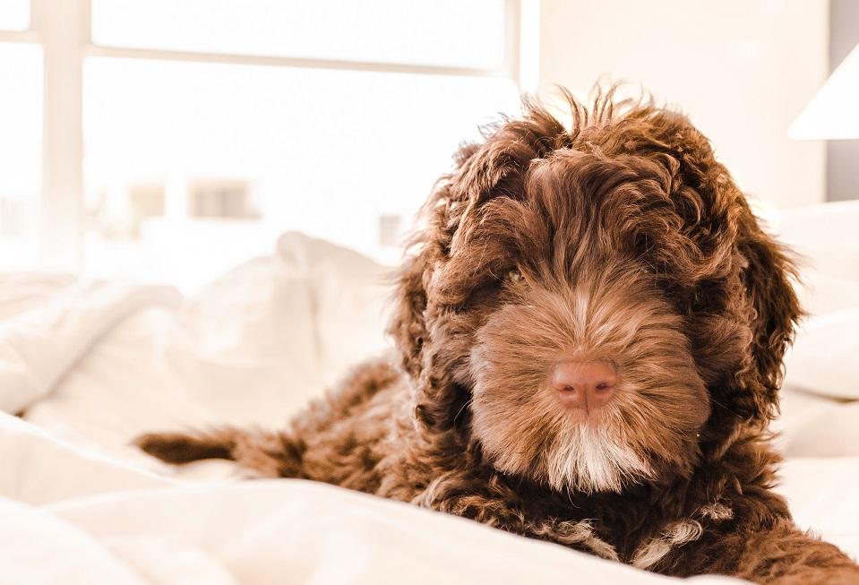 10 Hondenrassen die niet veel verharen barbet franse waterhond