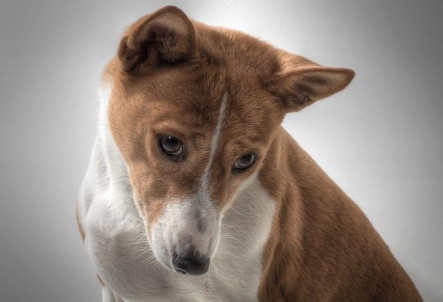 10 Hondenrassen die niet veel verharen basenji