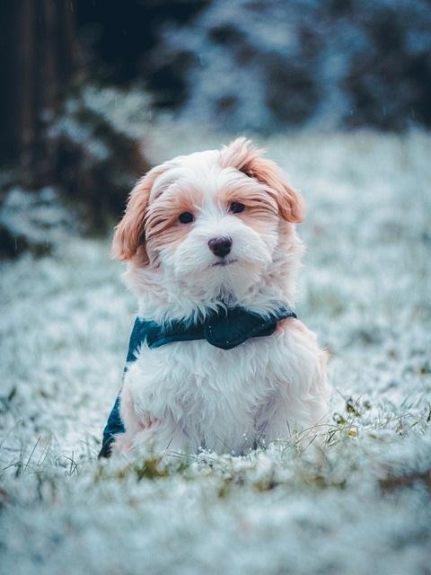 10 Hondenrassen die niet veel verharen havanezer