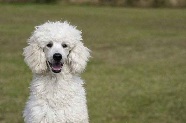 10 Hondenrassen die niet veel verharen poedel