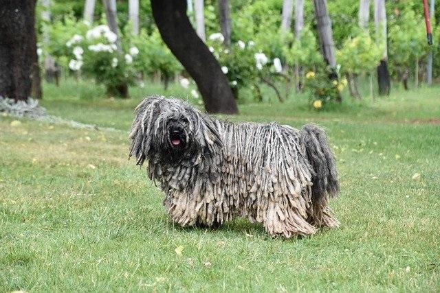10 Hondenrassen die niet veel verharen puli