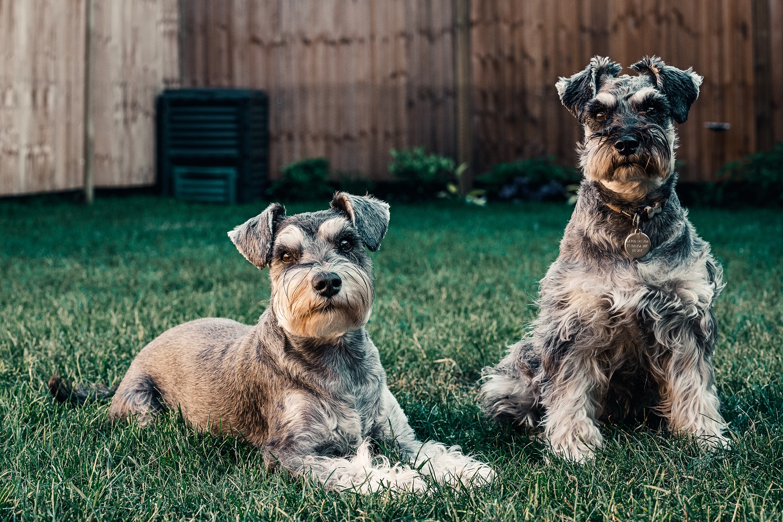 10 Hondenrassen die niet veel verharen reuze schnauzer