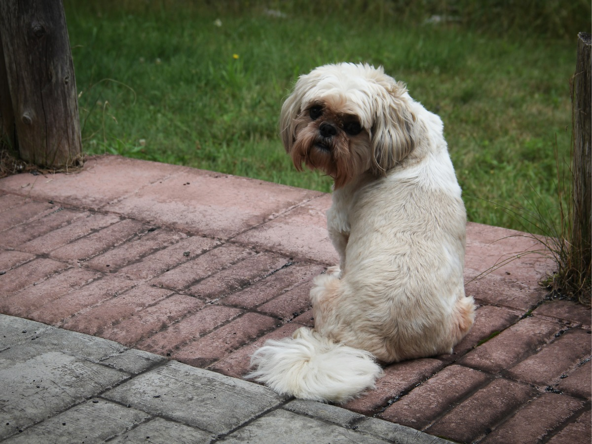 10 Hondenrassen die niet veel verharen shih tzu