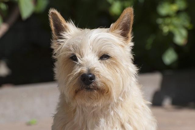 10 Hondenrassen die niet veel verharen schotse terrier