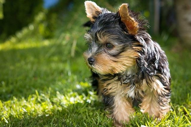 10 Hondenrassen die niet veel verharen yorkshire terrier