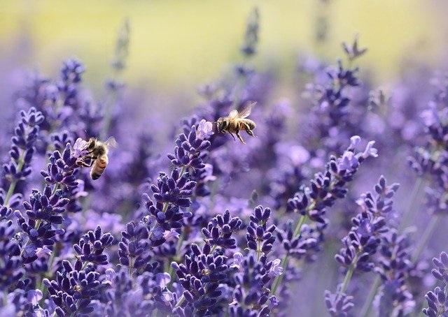 Red de bijen met bloemen en planten op je balkon lavendel